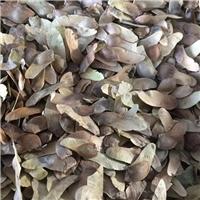 五角枫种子多少钱一斤