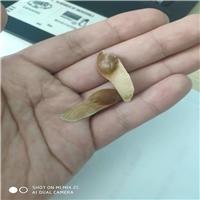 批发供应 五角枫种子 多少钱一斤厂