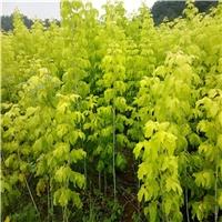 铁岭市糖槭种子新货供应