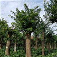 山东27公分国槐一级树优惠价格