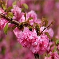 东北 榆叶梅种子 多少钱一斤
