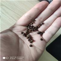 辽宁省五叶地锦种子东北五叶地锦种子