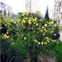 辽宁省黄刺玫种子东北黄刺玫种子