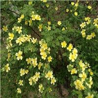 今年新�� 黄刺玫种子 颗粒饱满三遍风选