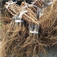 吉林京亚葡萄苗行情早熟品种优质葡萄苗