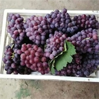 吉林省巨峰葡萄苗优惠价格出售保湿包装包邮