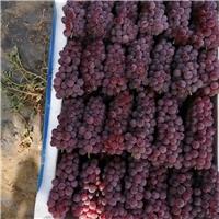吉林金红娃葡萄苗出售,精品小红粒易成活