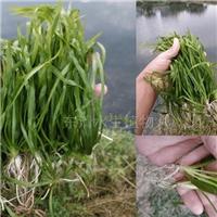 矮生苦草,沉水植物,广东东清水生植物基地