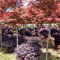 陕西日本红枫/彩叶类枫树质优价廉