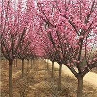 苗圃直销樱花树/陕西樱花/西北五省种植