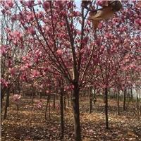 陕西本地玉兰树/白色紫色玉兰花