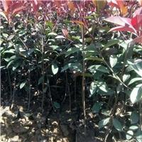 周至特价常青红叶石楠树/红色观叶绿篱