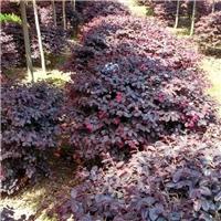 特价直供红花��木/优质红色灌木