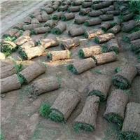 陕西百亩混播草坪/冷季型高羊毛早熟禾混播