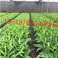 广西农科院香蕉苗西贡粉蕉苗金粉蕉苗出售