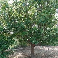 12公分八棱海棠多少钱 12公分八棱海棠树