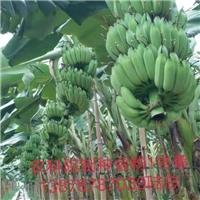 广东香蕉苗西贡粉蕉苗、红香蕉苗、香蕉种苗