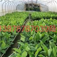 广东香蕉苗广粉蕉苗西贡粉蕉苗红香蕉组培苗