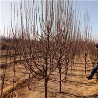 八棱海棠树价格
