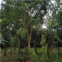 绿化专用基地直供红皮榕哪里价格比较便宜厂