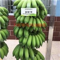 广东广州香蕉苗广粉蕉苗红头粉蕉苗批发
