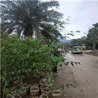 基地直销树姿优美四季常青具有工业价值桉树厂