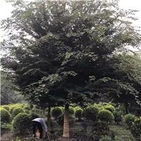 供应优质成都榉树/榉树价格/成都本地榉树