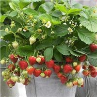 草莓种子盆栽室内外易活草莓花
