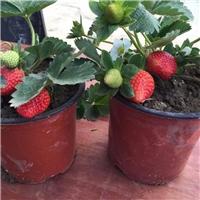 丹东草莓苗盆栽
