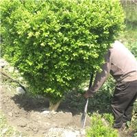 小叶黄杨球冠1.2米苗圃直销批发