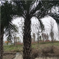 中东海枣熟货供应 成都苗圃熟货直销
