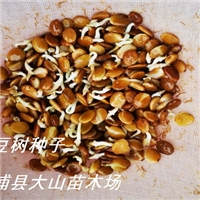 供应任豆树种子(翅荚木、任木)