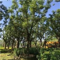 漳州哪里有优质香樟大量供应物美价廉厂