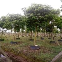 福建地区有没有工程绿化苗木秋枫大量供应