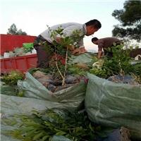 自产自销多规格造型优美七里香袋苗质优价廉厂