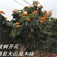 供应无忧花,无忧树,新品种绿化苗木