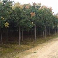 常年供应米径2-20公分的黄山栾树,货源充足