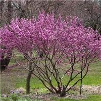 丛生紫荆苗木,万亩基地自产自销,规格全