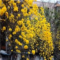 苗圃直销落叶乔木黄花风铃木应用于园林绿化