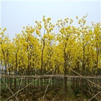 苗圃直销落叶乔木黄花风铃木应用于园林绿化厂