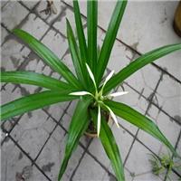 浙江大量批发供应花叶并美观赏价值高文殊兰厂
