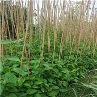 批发枝叶常青状如鞭炮植物炮仗花苗质优价廉