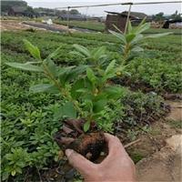 基地直销半常绿灌木毛杜鹃苗大量供应厂