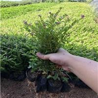 供应不雅观花植物喜冷凉气候满天星质优价廉厂