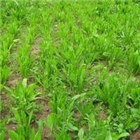 牧草菊苣牧草种子 甜高粱牧草种子