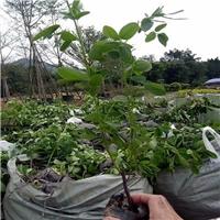 管理方便的优良园林植物黄花双夹槐质优厂