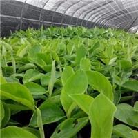 �V西�J州市香蕉苗西�粉蕉苗培育基地