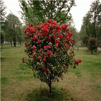 低价批发盆栽盆景茶花规格齐全