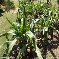 地被美观耐寒植物文殊兰常年大量批发