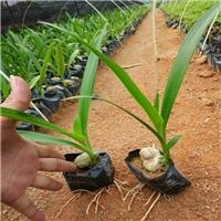 地被美观耐寒植物文殊兰常年大量批发厂
